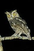Pacific Screech Owl (Megascops cooperi), Alajuela, Costa Rica