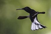 Colibri demi-deuil (Florisuga fusca) en vol, forêt atlantique, Brésil