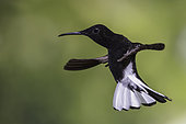 Black Jacobin (Florisuga fusca) flying, Atlantic rainforest, Brazil