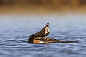Long-tailed Duck (Clangula hyemalis) male displaying, Manitoba, Canada