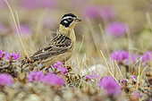 Smith's Longspur (Calcarius pictus), Manitoba, Canada