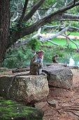 Toque macaque (Macaca sinica) on rock, Sigirya, Sri Lanka