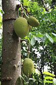 Jackfruit fruit (Artocarpus heterophyllus) on trunk, Sri Lanka