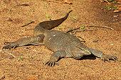 Common Water Monitor (Varanus salvator) lying on ground, Bundala National Park, Sri Lanka