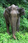 Asian elephant (Elephas maximus), Udawalawe National Park, Sri Lanka