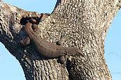Common Water Monitor (Varanus salvator) lying on tree, Bundala National Park, Sri Lanka