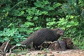 Ruddy Mongoose (Herpestes smithii), Bundala National Park, Sri Lanka