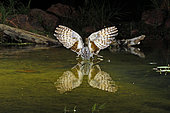 Common Poorwill (Phalaenoptilus nuttallii) in flight drinking at a pond, Arizona, USA