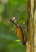 Pic de Tickell (Chrysocolaptes guttacristatus) femelle creusant dans un tronc, Darjeeling, Inde