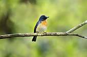 Tickell's Blue Flycatcher (Cyornis tickelliae jerdoni) male perched on a branch, Kutugala, Sri Lanka
