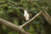 Sri Lanka Scimitar Babbler (Pomatorhinus melanurus) perched on a branch, Welimada, Sri Lanka