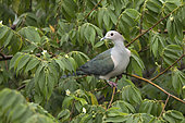 Green Imperial Pigeon (Ducula aenea pusilla) perched on a branch, Udawalawe National Park, Sri Lanka