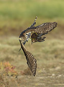 Cooper's Hawk (Accipiter cooperii) immature flying with male Northern Bobwhite (Colinus virginianus) prey in claws, Texas, USA