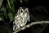 Balsas Screech Owl (Megascops seductus), Colima, Mexico