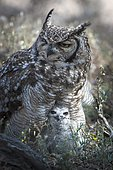 Spotted Eagle-Owl (Bubo africanus) with chick, Kgalagadi Transfrontier Park, Northern Cape, South Africa, Africa