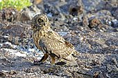 Galapagos Short-eared Owl (Asio flammeus galapagoensis), Genovesa Island, Galapagos Islands, UNESCO World Natural Heritage Site, Ecuador, South America