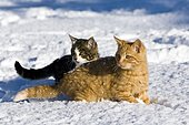 Young red and grey tabby domestic cats in the snow, North Tyrol, Austria, Europe