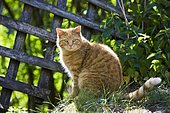 Red tabby domestic cat sitting on a wooden fence with backlighting, North Tyrol, Austria, Europe