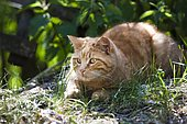 Red tabby domestic cat lying in the grass with backlighting, North Tyrol, Austria, Europe
