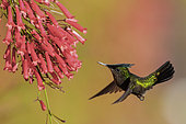Antillean Crested Hummingbird (Orthorhyncus cristatus) flying and feeding at a flower, Martinique