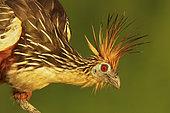 Hoatzin (Opisthocomus hoazin), Manu National Park, Peru