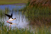 Black-winged Stilt (Himantopus himantopus) pair mating, Lesvos, Greece