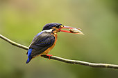 Blue-eared Kingfisher (Alcedo meninting) female perched on a branch with fish in beak, Selangor, Malaysia