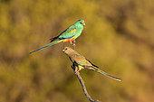 Mulga Parrot (Psephotellus varius) pair perched on a branch, South Australia, Australia