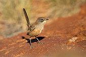Amytis de Merrotsye des Flinders (Amytornis merrotsyi pedleri) au sol, Australie