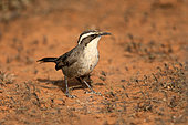White-browed Babbler (Pomatostomus superciliosus) perched on the ground, South Australia, Australia
