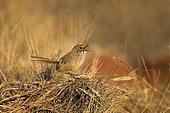 Short-tailed Grasswren (Amytornis merrotsyi pedleri), South Australia, Australia
