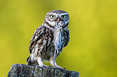 Little Owl (Athene noctua) perched on a pale with mouse prey in beak, Schleswig-Holstein, Germany