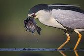 Black-crowned Night Heron (Nycticorax nycticorax) eating fish prey, Hungary