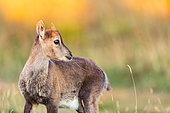 Alpine ibex (Capra ibex) Young kid in the evening light. Swiss