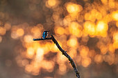 Kingfisher (Alcedo atthis), Quietly resting on its branch, Alsace, France