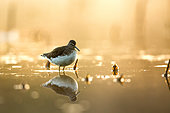 Green Sandpiper (Tringa ochropus) at sunrise with its reflection, Alsace, France