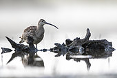 Curlew (Numenius arquata), early morning, Alsace, France
