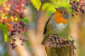 European Robin (Erithacus rubecula) perched on a stump, Kalmar, Sweden