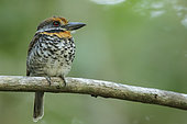 Spotted Puffbird (Bucco tamatia) perched on a branch in the grasslands of Guyana.