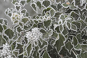 Ivy (Hedera helix) covered with frost in winter, Lorraine, France
