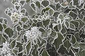 Lierre (Hedera helix) couvert de givre en hiver, Lorraine, France