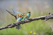 European Bee-eater (Merops apiaster), offering of prey, Lorraine, France