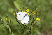 Cabbage butterfly (Pieris rapae) male, Lorraine, France
