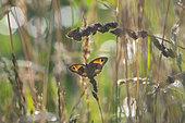 Meadow Brown (Maniola jurtina) and European Skipper (Thymelicus lineola), Lorraine, France