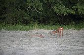 Roebuck (Capreolus capreolus) female lying in tender position, Lorraine, France