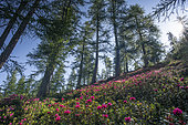 Rhododendrons and Larches, Mercantour National Park, France