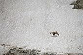 Alpine chamois (Rupicapra rupicapra) crossing a neve, Mercantour National Park, France