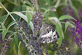 Great-banded Grayling (Brintesia circe) mating, Drome, France