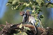 Eurasian Jay (Garrulus glandarius) grooming on a branch, Lorraine, France