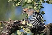 Eurasian Jay (Garrulus glandarius) stretching on a branch, Lorraine, France